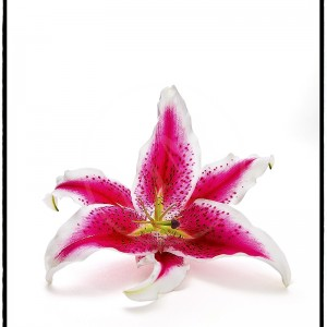 Asiatic Lily - 1