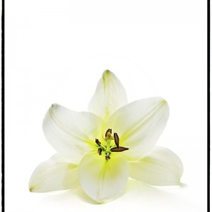 Asiatic Lily - 2