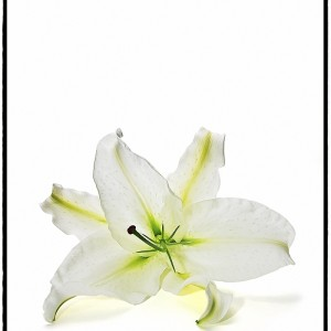 Asiatic Lily - 3