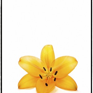 Asiatic Lily - 4