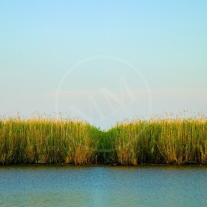 Tall Grass On The Delta